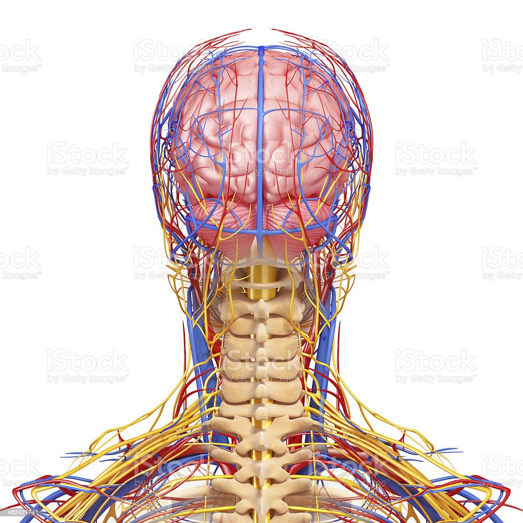 Back View Of Brain Circulatory And Nervous System Stock Photo More