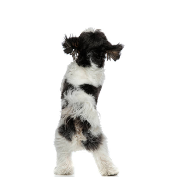 Back view of furry shih tzu standing on back paws picture id1094024918?b=1&k=6&m=1094024918&s=612x612&w=0&h=mlsqizfeoi5p5ma6jrklo4vgtzgvdwiintnilohbyyo=