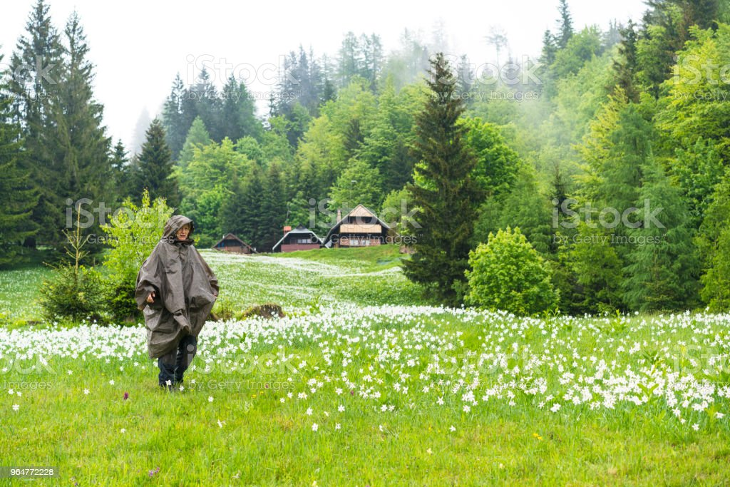 Side view of Senior woman in raincoat hiking in narcissus flowers flowerbed on rainy day at Spanov vrh, Slovenia royalty-free stock photo