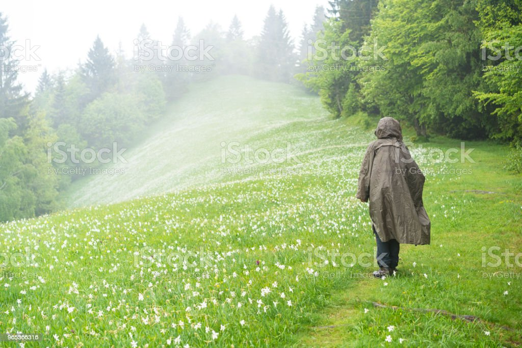 Back view of Senior woman in raincoat hiking in narcissus flowers flowerbed on rainy day at Spanov vrh, Slovenia zbiór zdjęć royalty-free