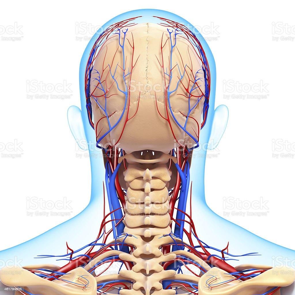 Vista Posterior De La Garganta Sistema Circulatorio Aislado Con ...