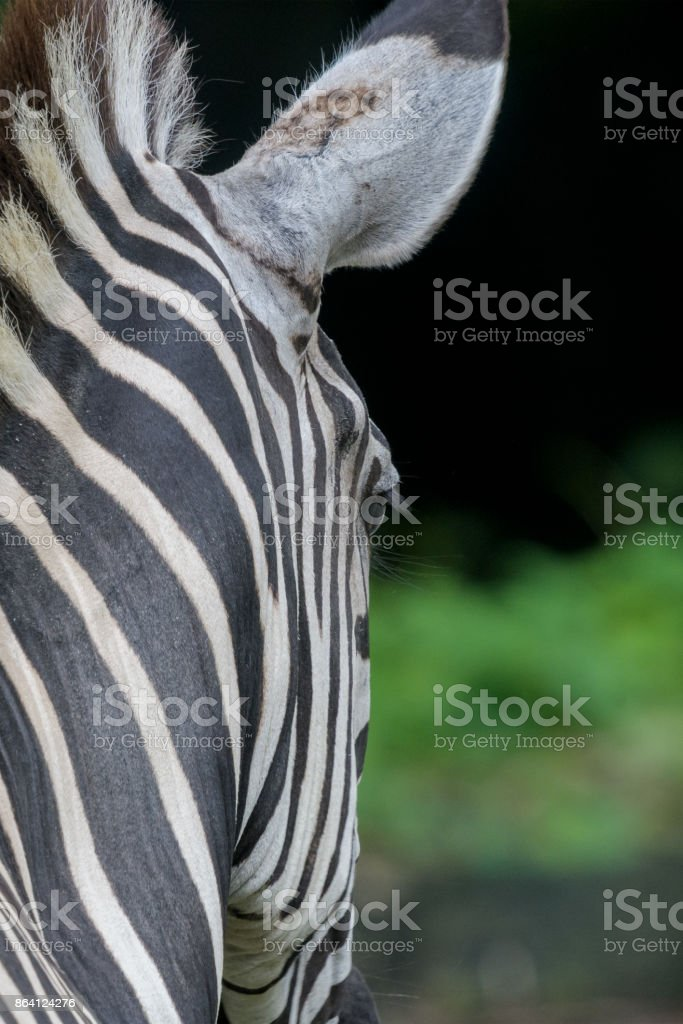 Back View Of Zebra royalty-free stock photo