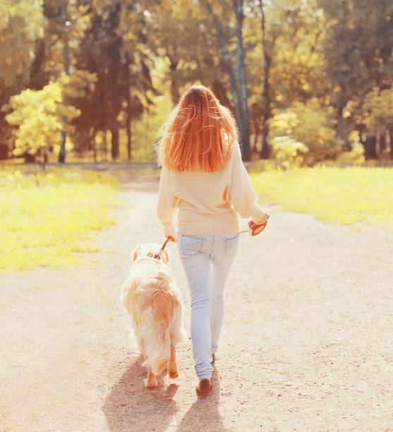 back view woman and Golden Retriever dog walking together in sunny autumn day stock photo
