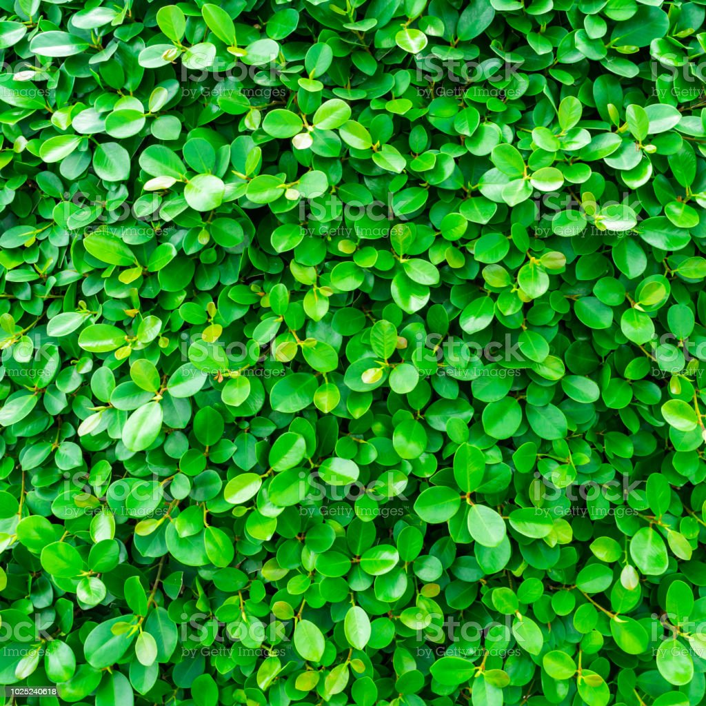 Backdrop of green leaves natural wall. stock photo