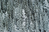 background: a wall of winter forest on a mountainside with snow-covered branches