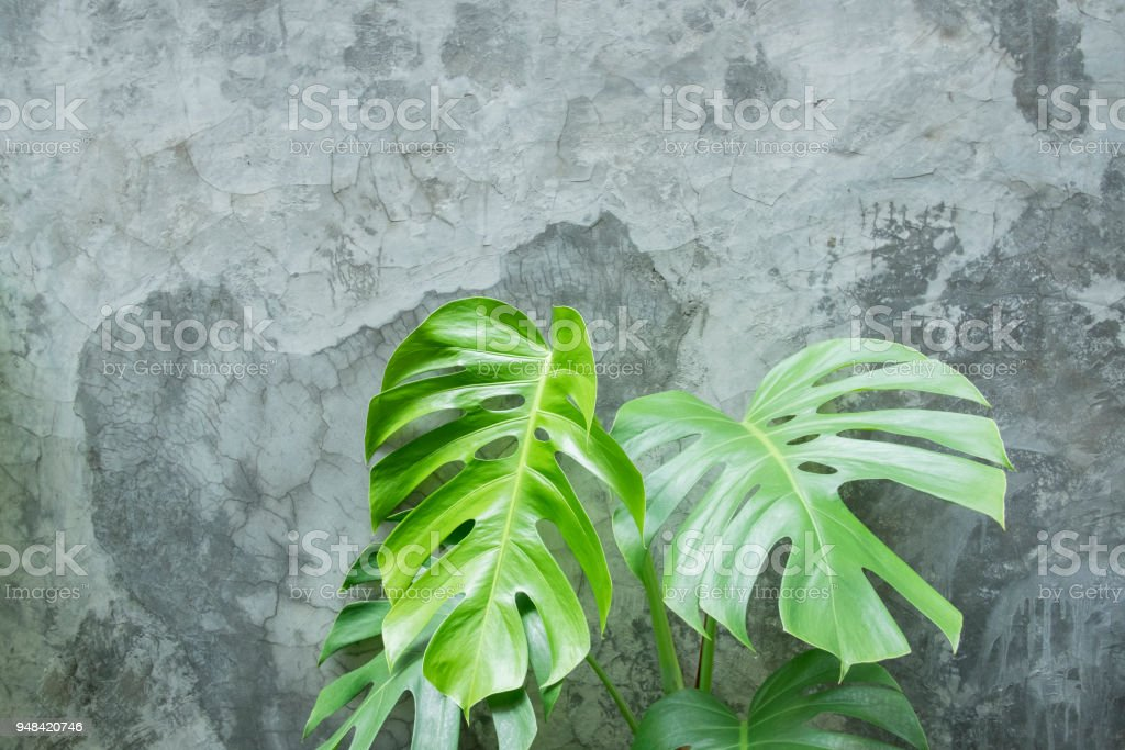 Background and texture of green leaf and cement wall. Swiss cheese plant on gray cement background.