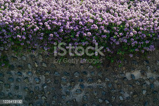 The wall with purple alyssum flower was filmed in the background.