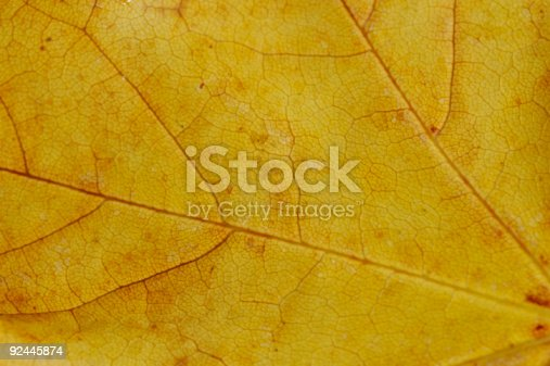 background, autumn sycamore fall dried leaf