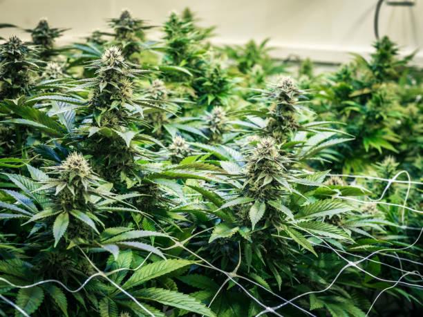 Background Canopy of Budding Indoor Marijuana Plants stock photo