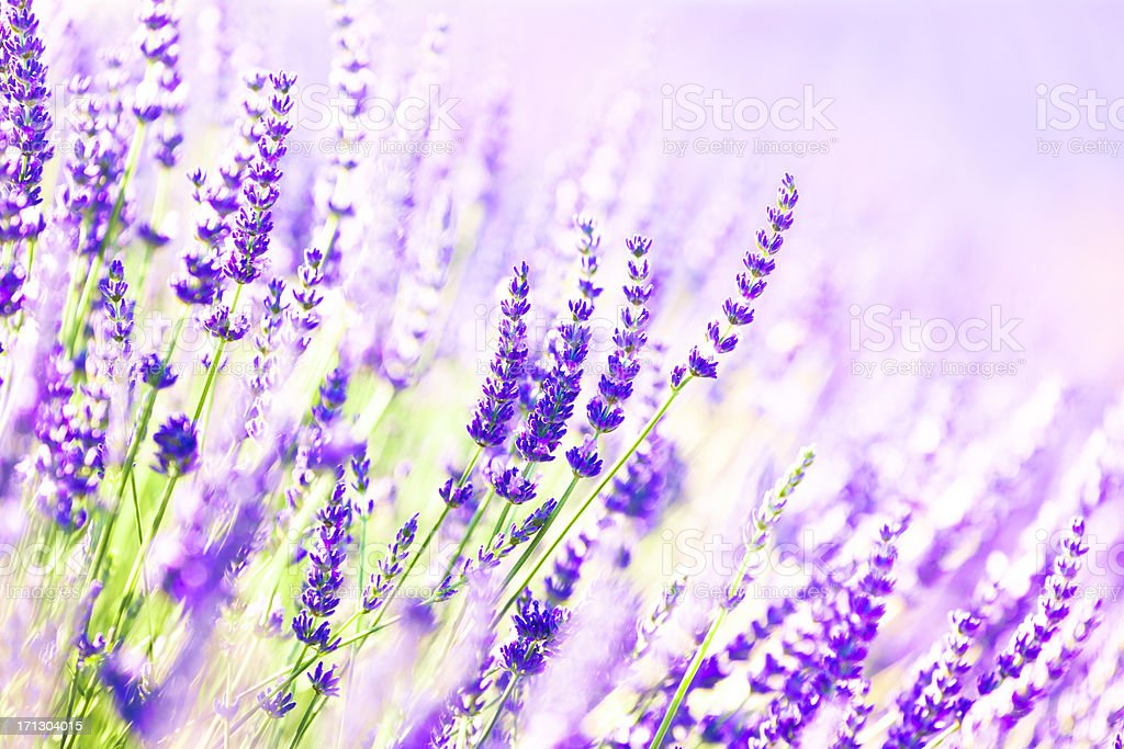 Background composed of Lavender flowers royalty-free stock photo