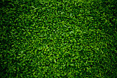 Background comprised of small green leaves