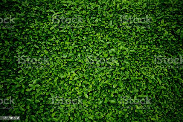 Photo of Background comprised of small green leaves
