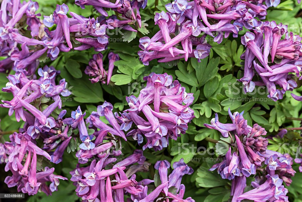 Background. Corydalis flowers, a top view. stock photo