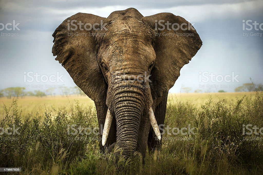 background elephant stock photo