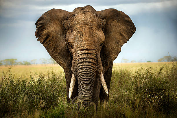 background elephant - safari stock photos and pictures