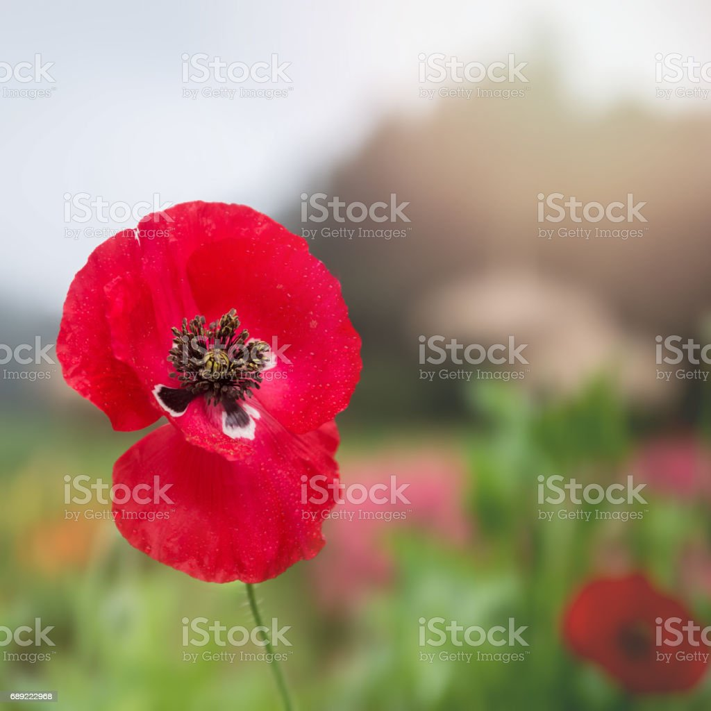 Background Flower Opium Poppy Red Stock Photo More Pictures Of