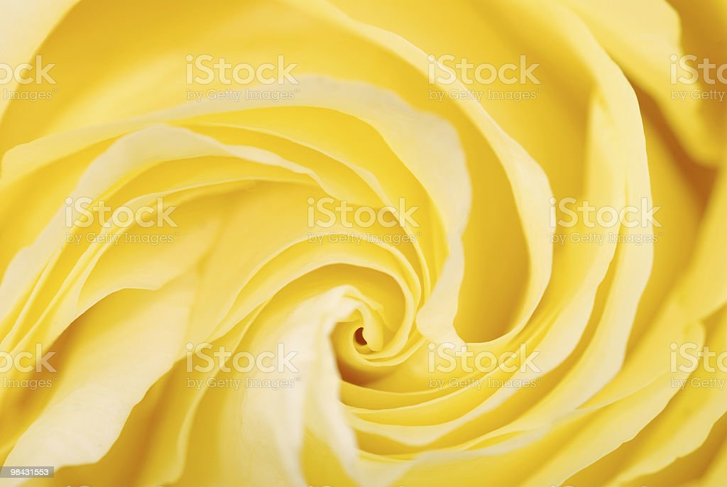 Background from a yellow rose royalty-free stock photo