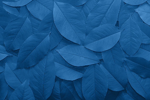Background from autumn fallen leaves close-up in color classic blue 2020.