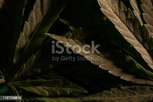 936410150istockphoto Background from cannabis drug leaves. 1167239814