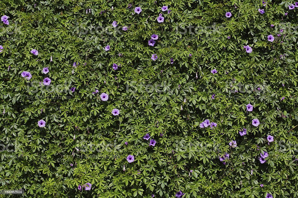 background from Convolvulus royalty-free stock photo