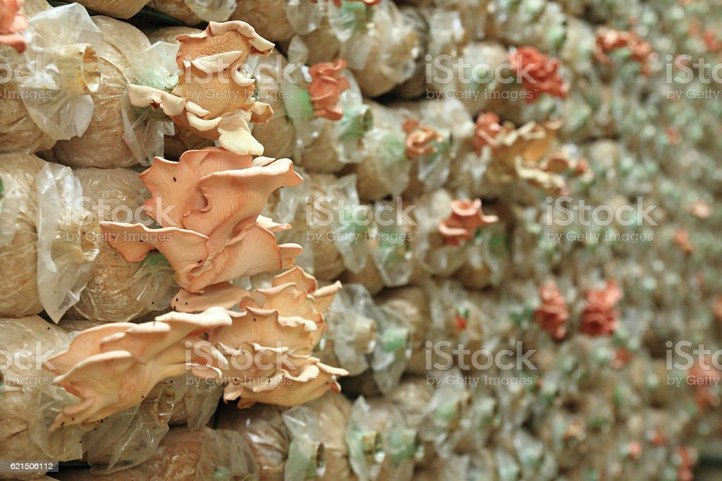 background from cultivate mushrooms foto stock royalty-free