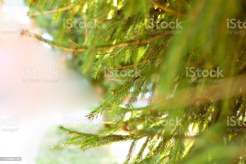 Background from green Fir tree branch. Fluffy young branch Fir tree