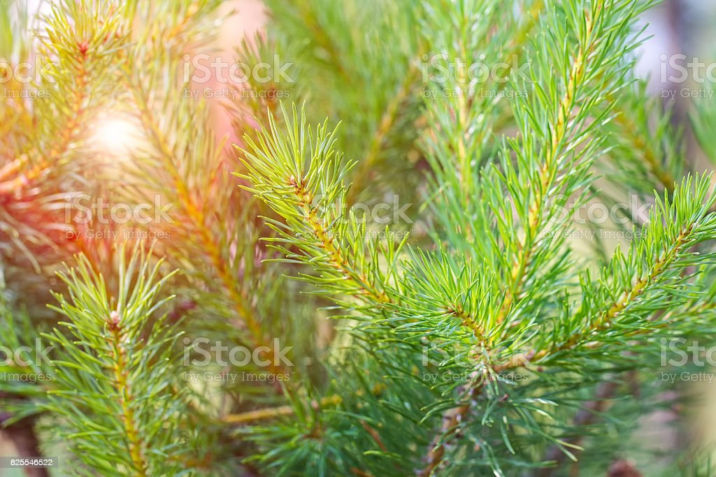 Background from green Fir tree branch. stock photo