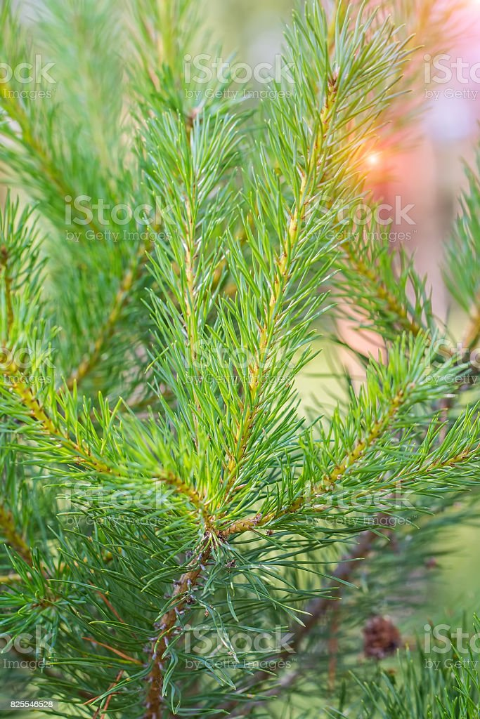 Background from green Fir tree branch stock photo