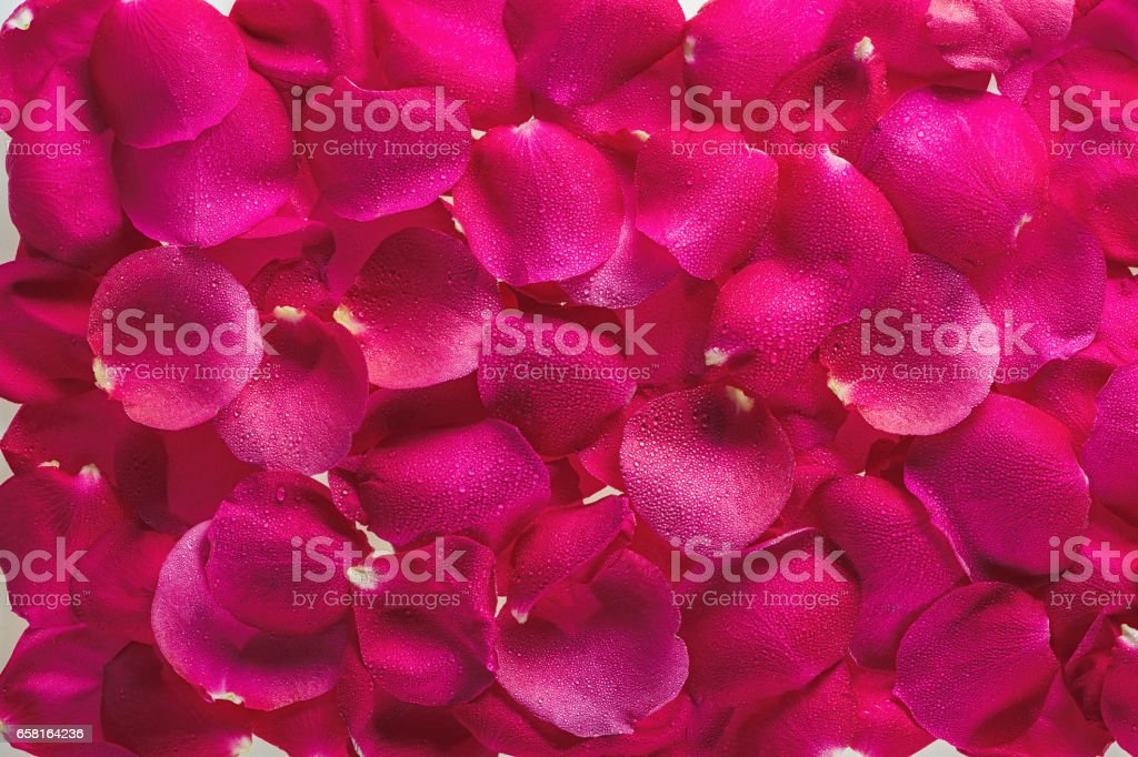 Background from petals of magnificent fresh roses with dew drops стоковое фото