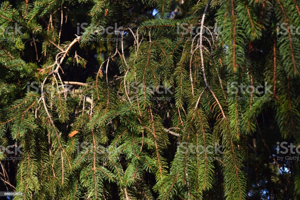 Background from pine leaves. zbiór zdjęć royalty-free