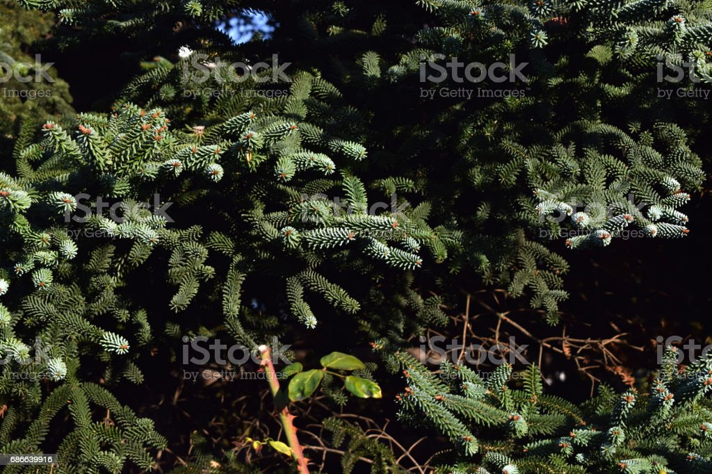 Background from pine leaves. royalty-free stock photo