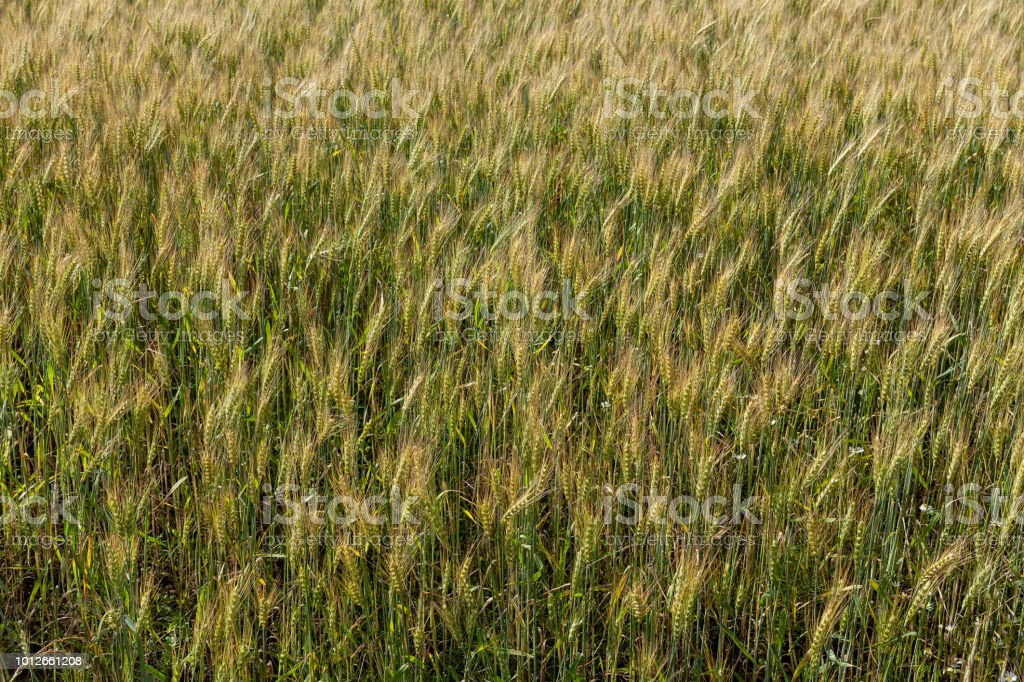 Background from ripe ears of barley in the field in the summer стоковое фото