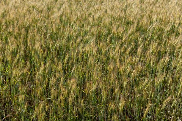 Cтоковое фото Background from ripe ears of barley in the field in the summer