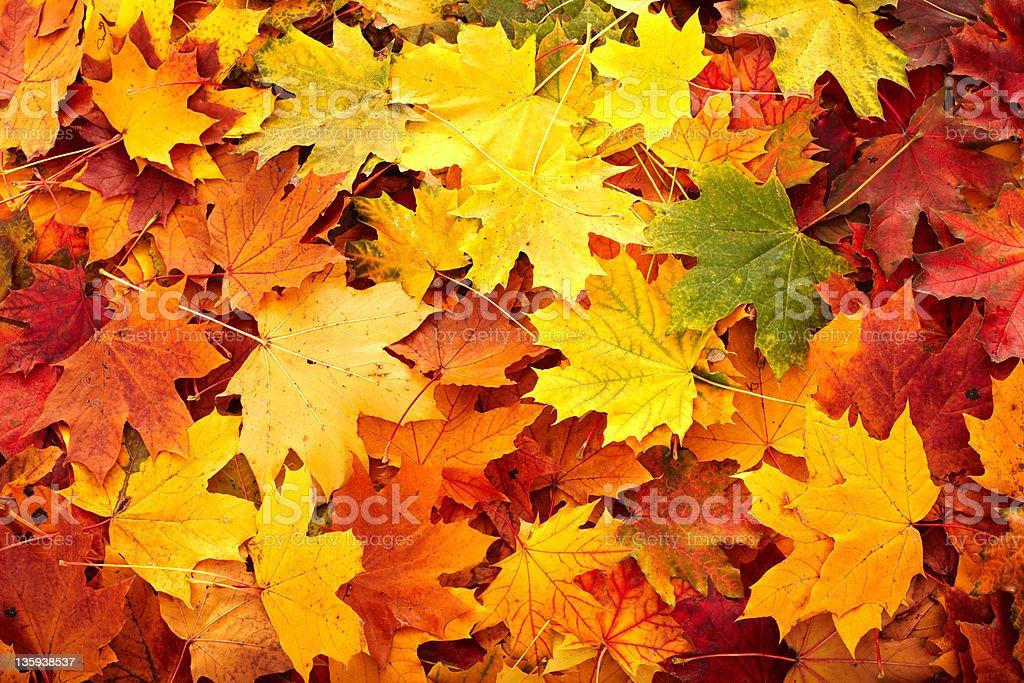 Background group autumn orange leaves . stock photo
