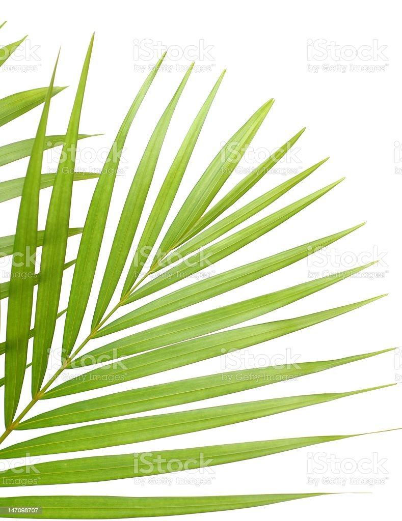 Background image of isolated palm tree leaves stock photo