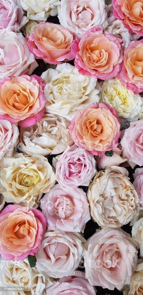 Background image of roses. Colored fresh pastel color roses. Flat lay...
