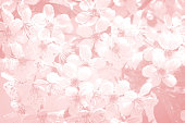 Background image: on a light pink background white flowers are cherry blossoms.