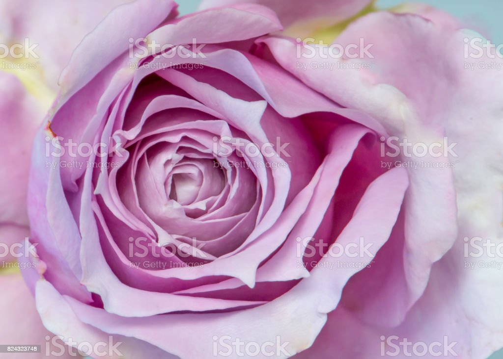 Purple color rose, stands for enchantment. Species Poseidon.