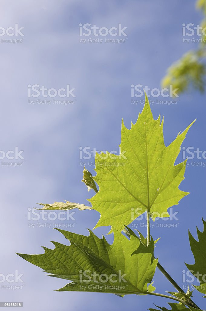 Background, maple leaves royalty-free stock photo