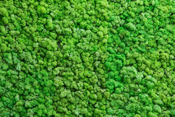 background moss - moss stock pictures, royalty-free photos & images