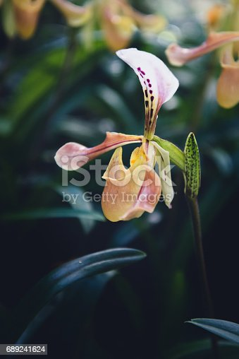 background nature flower Orchid paph villosum. Background blur green