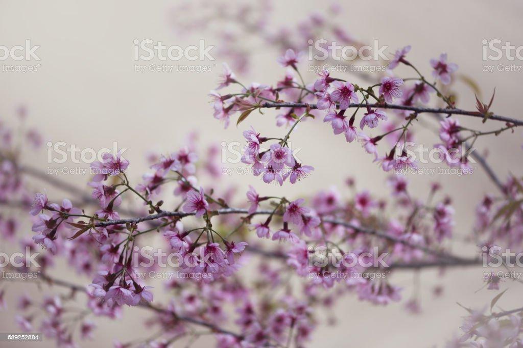 background nature Flower Valentine Prunus cerasoides stock photo