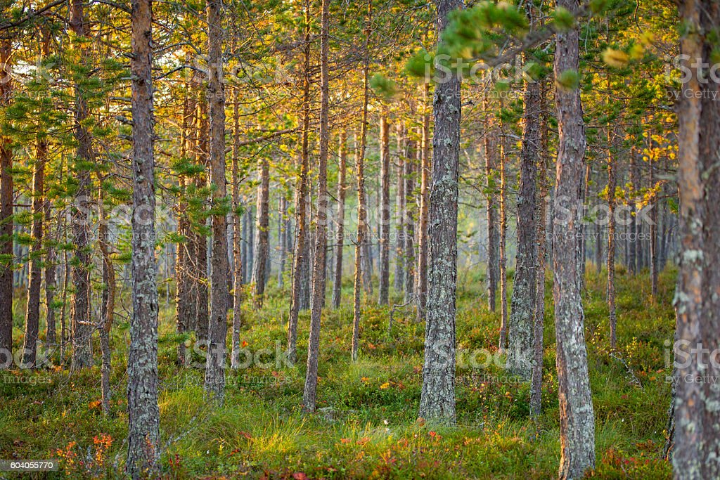 background nature photo of growing pine tree forest in sweden stock photo download image now istock https www istockphoto com photo background nature photo of growing pine tree forest in sweden gm604055770 103753547