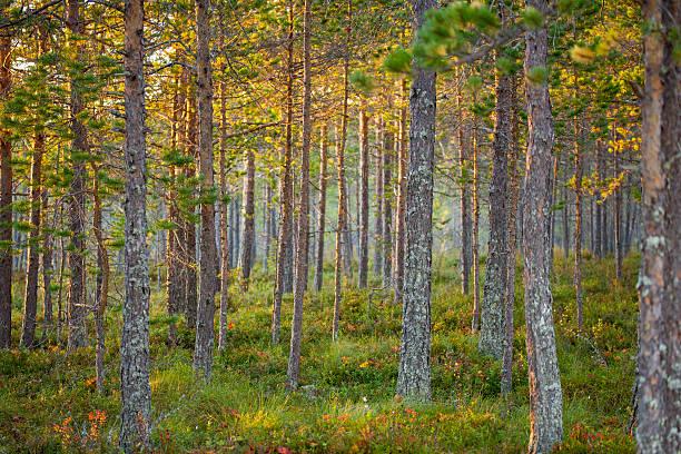 background nature photo of growing pine tree forest in sweden - pine forest sweden bildbanksfoton och bilder