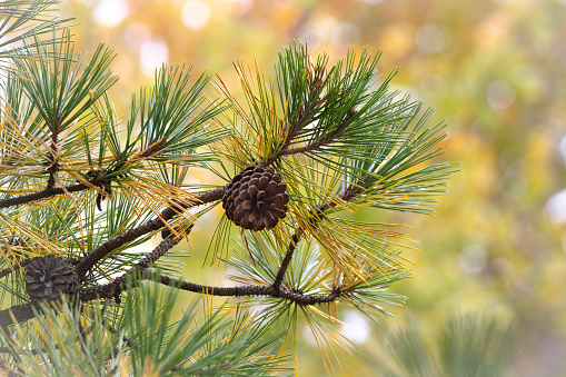 Background - Nature - Pine Cone on Tree