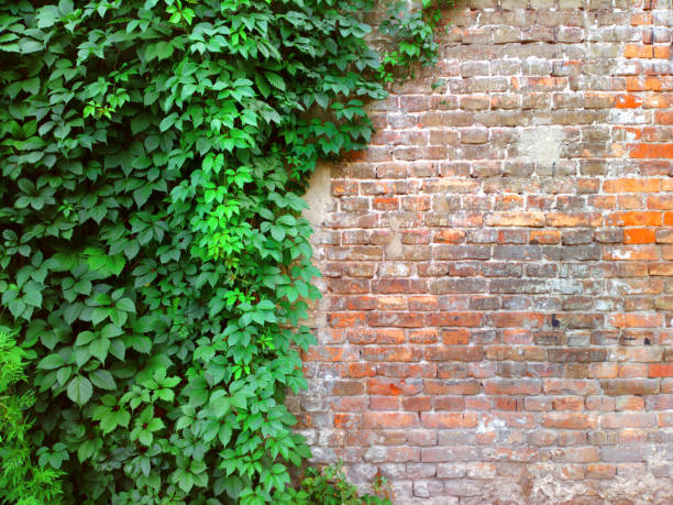 background of a brick stone wall with green ivy leaves. - ivy building imagens e fotografias de stock