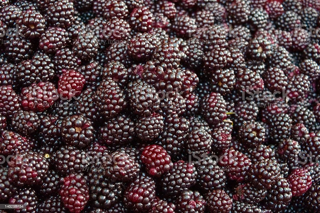 Background of a carpet of slightly unripe blackberries royalty-free stock photo