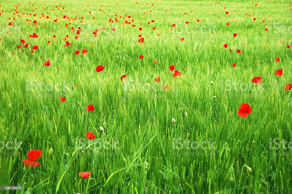Background of a green grass field with red flowers royalty-free stock photo