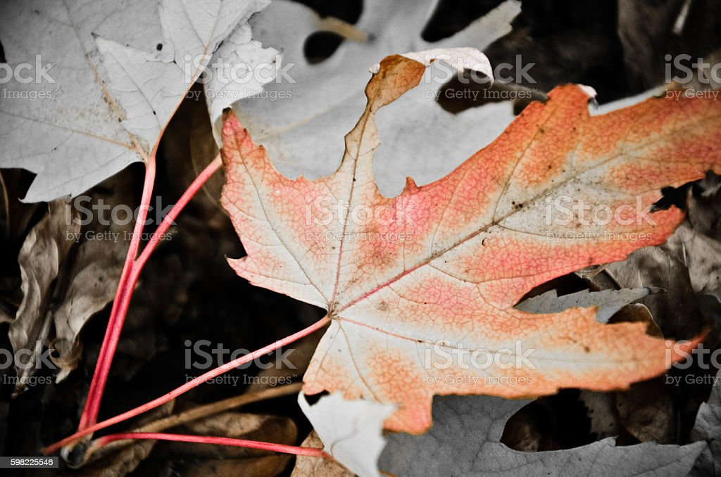 Background of a group of autumn orange leaves. Outdoor foto royalty-free