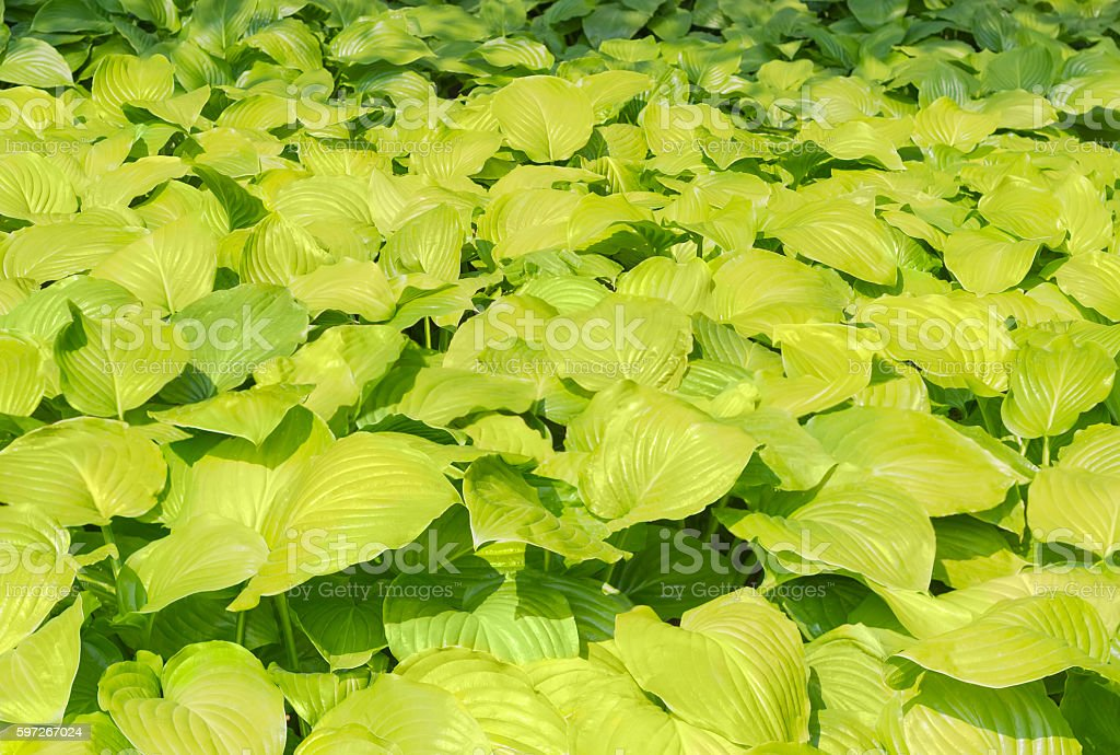 Background of a hosta leafage royalty-free stock photo